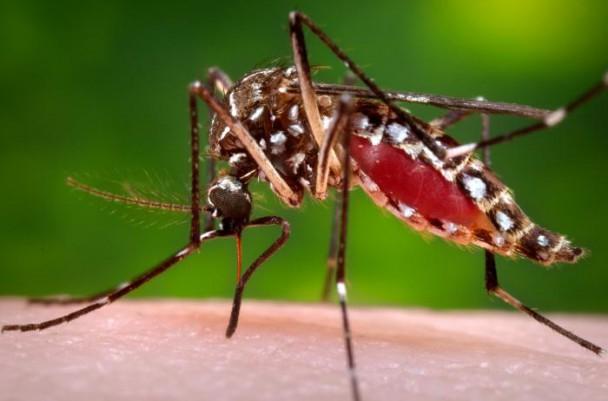 O Aedes aegypti é o agente transmissor da dengue, da chikungunya e do zika vírus