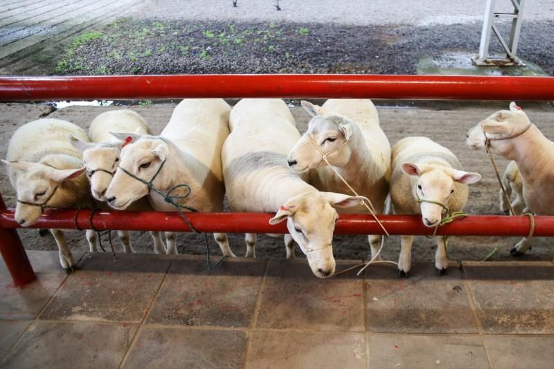 ESTEIO, RS, BRASIL 20.08.2018: Os primeiros animais começaram a chegar ao Parque de Exposições Assis Brasil em Esteio para a 41ª edição da Expointer, na manhã desta segunda-feira (20). A abertura dos portões para o ingresso dos primeiros exemplares ocorre