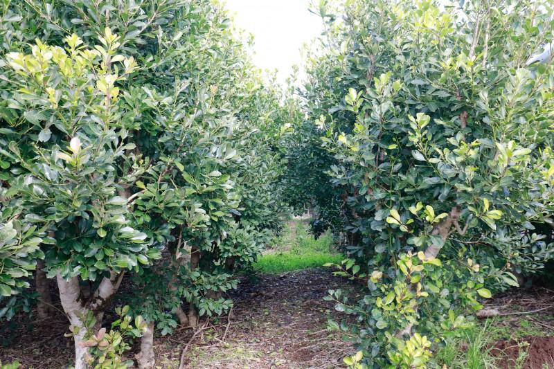 abertura colheita erva mate 3